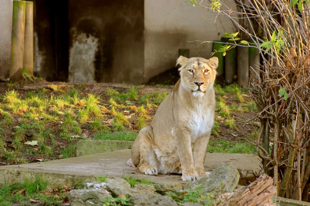 Zašto je lav kralj životinja
